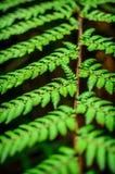 Dettaglio di bella foglia del primo piano della felce Fotografie Stock Libere da Diritti