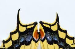 dettaglio di coda di rondine della farfalla Immagine Stock Libera da Diritti