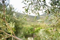 Dettaglio di di olivo con le olive verdi Immagine Stock Libera da Diritti