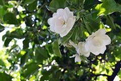 Dettaglio di fioritura sbocciante di di melo Fotografia Stock