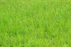 Dettaglio di giovane giacimento del riso dopo la pioggia con le gocce sulle foglie Fotografie Stock