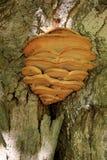 Dettaglio di grande corteccia di albero e del fungo Fotografie Stock