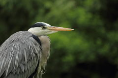 Dettaglio di Grey Heron Fotografia Stock Libera da Diritti