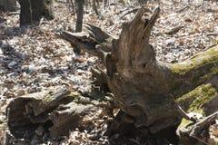 Dettaglio di legno di decomposizione Fotografie Stock Libere da Diritti