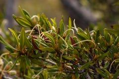 Dettaglio di mogano di ledifolius di Cercocarpus della montagna pennuto - frutta munita immagini stock libere da diritti