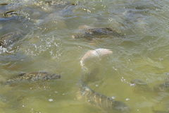 Dettaglio di molti pesci in un lago Fotografie Stock