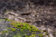 Dettaglio di muschio verde su un tronco di albero Fotografia Stock