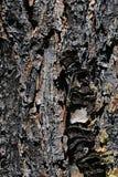 Dettaglio di struttura di legno della corteccia del pinus Wallichiana del pino del Bhutan della conifera Fotografia Stock Libera da Diritti
