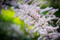 Dettaglio di un albero di fioritura della molla fotografia stock