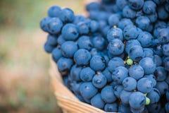 Dettaglio di un canestro con l'uva Raccolta dell'uva blu Alimento, Borgogna Autunno nel giardino fotografia stock