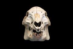 Dettaglio di un cranio del maiale isolato con fondo nero Immagine Stock