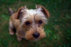 Dettaglio di un cucciolo di Yorkshire immagine stock libera da diritti