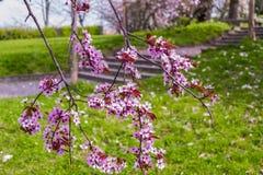 Dettaglio di un ramo di fioritura del ciliegio selvaggio immagini stock