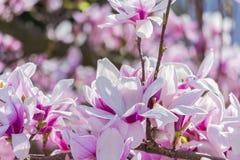 Dettaglio di un ramo di fioritura della magnolia fotografia stock