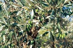 Dettaglio di un ramo di ulivo di Drome, Francia fotografie stock