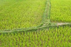Dettaglio di un riso Paddy Field - Vang Vieng, Laos Immagini Stock Libere da Diritti