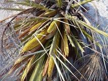 Dettaglio di una palma da datteri in un fiore Fotografie Stock