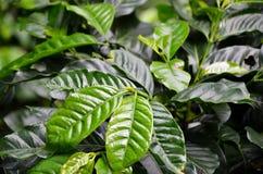 Dettaglio di una pianta del caffè, Juayua, El Salvador Fotografia Stock Libera da Diritti
