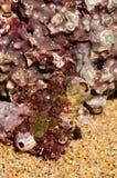 Dettaglio di una pietra rossa con una colonia dei balani Fotografia Stock Libera da Diritti