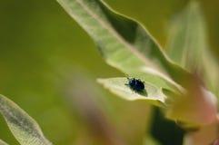 Dettaglio di uno scarabeo sulle foglie di una pianta sana di estate fotografia stock libera da diritti