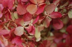 Dettaglio dolce dell'ortensia rossa in primo piano fotografie stock