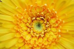 dettaglio giallo del fiore della gerbera con il fondo della natura del polline fotografie stock libere da diritti