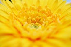 dettaglio giallo del fiore della gerbera con il fondo della natura del polline fotografia stock libera da diritti