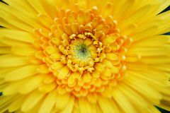 dettaglio giallo del fiore della gerbera con il fondo della natura del polline immagine stock