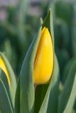 Dettaglio giallo del germoglio di fiore del tulipano Fotografie Stock