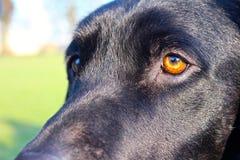 Dettaglio nero dell'occhio di labrador Fotografie Stock