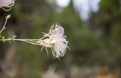 Dettaglio peloso del fiore Fotografie Stock
