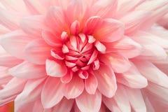 Dettaglio rosa del primo piano del fiore di strutture Fotografia Stock