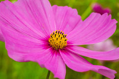 Dettaglio rosa del wildflower Fotografia Stock