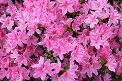 Dettaglio rosa dell'azalea Fotografie Stock