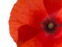 Dettaglio rosso del papavero delle Fiandre, isolato fotografia stock libera da diritti