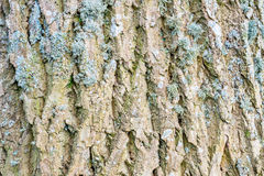 Dettaglio strutturato della corteccia di albero della cenere fotografie stock