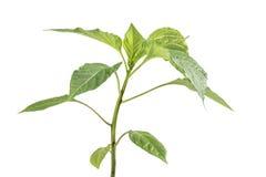 Dettaglio su una verdura della pianta della paprica della piantina (capsico, peperoni) immagine stock