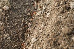 Dettaglio sui semi degli spinaci in una fila nella piantatura, fiore-b di verdure Immagine Stock