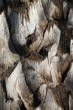 Dettaglio superiore del tronco di struttura del fondo della palma immagine stock