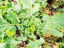 Dettaglio superiore di giovane colza nel campo Colori verdi freschi dei fiori Seme di ravizzone del seme oleifero Fotografia Stock Libera da Diritti