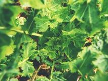Dettaglio superiore di giovane colza nel campo Colori verdi freschi dei fiori Seme di ravizzone del seme oleifero Immagine Stock