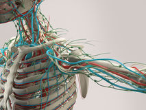 Dettaglio umano di anatomia della spalla Struttura dell'osso sul fondo normale dello studio illustrazione di stock