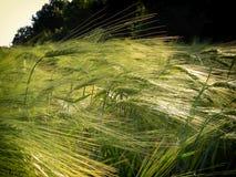 Dettaglio verde del campo di agricoltura giovane probabilmente orzo del grano/del mais alla molla tarda Fotografia Stock