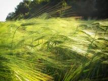 Dettaglio verde del campo di agricoltura giovane probabilmente orzo del grano/del mais alla molla tarda Immagine Stock Libera da Diritti
