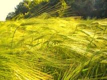 Dettaglio verde del campo di agricoltura giovane probabilmente orzo del grano/del mais alla molla tarda Immagini Stock