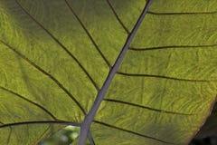 Dettaglio verde della foglia Fotografia Stock Libera da Diritti