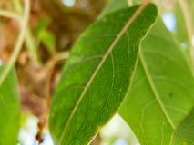 Dettaglio verde della foglia con le vene fini e la struttura approssimativa Immagine Stock