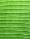 Dettaglio verde della foglia della banana Fotografie Stock