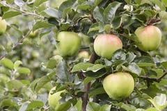 Dettaglio verde delle mele su un albero Fondo di agricoltura Fotografia Stock Libera da Diritti