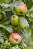 Dettaglio verde delle mele su un albero Fondo di agricoltura Fotografie Stock Libere da Diritti